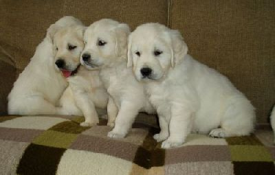 Catei Golden Retriever superbi