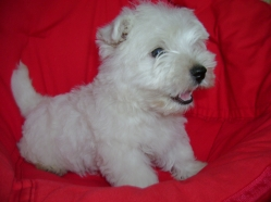 Vand Pui West Highland White Terrier - Westie