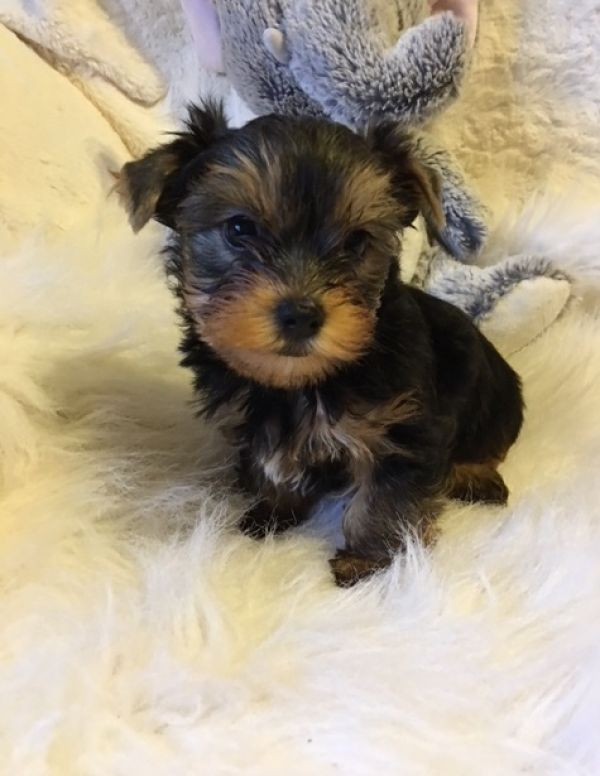 Lovely pui Yorkshire Terrier-ul