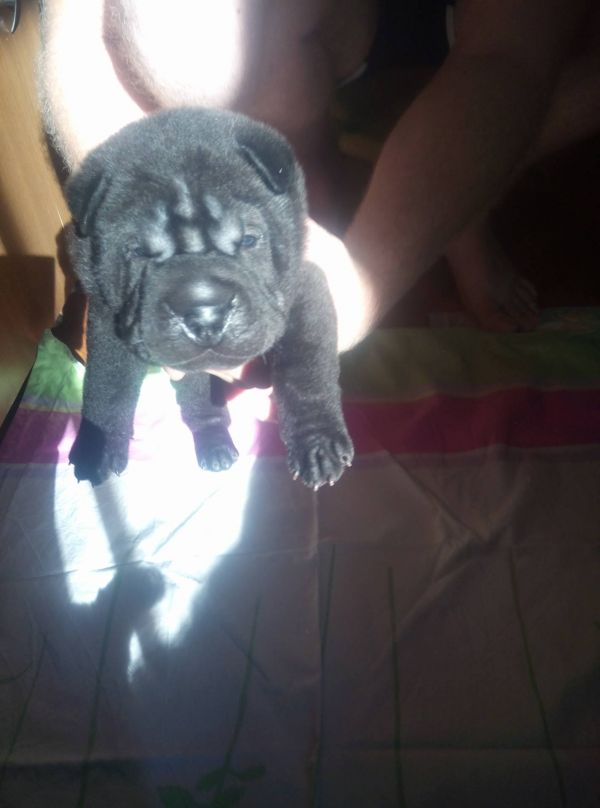 Shar-Pei cu pedigree, disponibili.