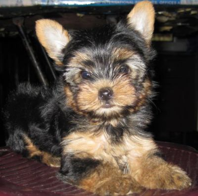 Catei Yorkshire terrier talie mica