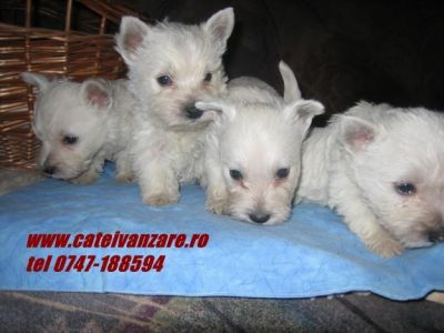 Jack russel terrier si West hingland white terrier.