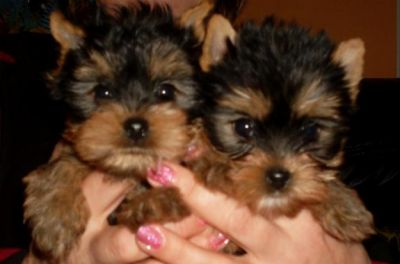 Vindem catei Yorkshire terrier