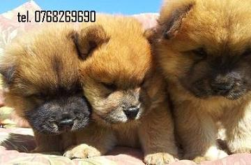 Vand catei chow chow . tel. 0768269690.